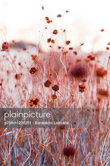 Vertrocknete Pflanzen - p756m1200251 von Bénédicte Lassalle