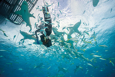 Bahamas, Diver in between Lemon sharks at Bahana bank - p300m981970f by Gerald Nowak