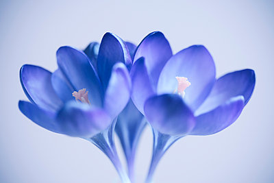 Close up of purple crocus flowers with a blurred background - p1302m2063612 by Richard Nixon