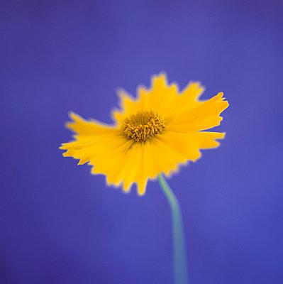 Yellow wildflower - p4950198 by Jeanene Scott