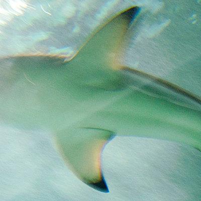 Shark - p5679528 by Gina van Hoof
