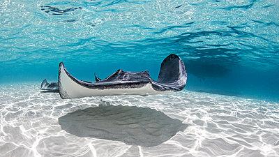 Southern stingray, Cayman Palms, Cayman Islands - p924m2058189 by Ken Kiefer 2