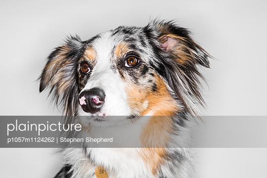 Hundeportrait - p1057m1124262 von Stephen Shepherd
