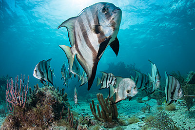 School of spadefish by coral reef, Puerto Morelos, Mexico - p429m1417651 by Rodrigo Friscione