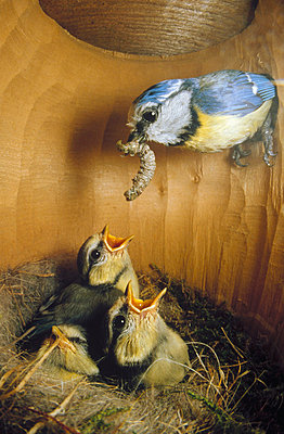 Blue Tit parent delivering caterpillar to chicks in nest - p8842299 by Konrad Wothe
