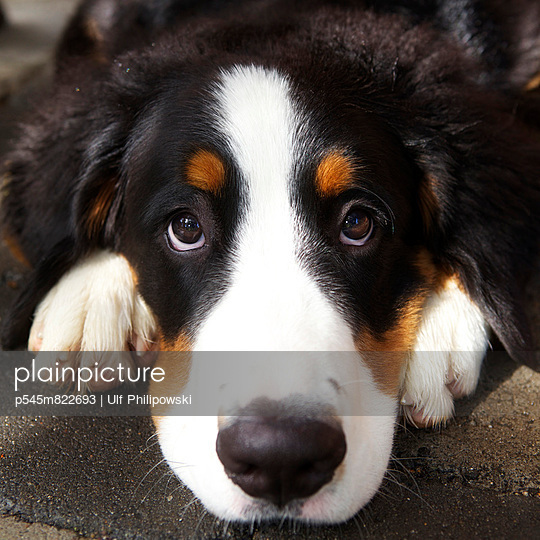 Berner Sennenhund - p545m822693 von Ulf Philipowski