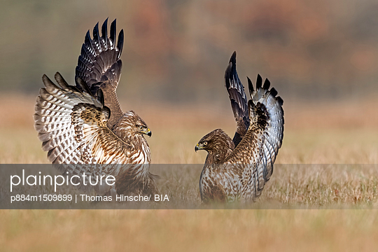 Common Buzzard pair fighting, Saxony-Anhalt, Germany - p884m1509899 by Thomas Hinsche/ BIA