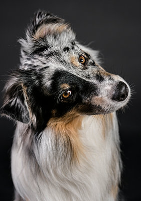 Close-up portrait of Australian Shepherd with head cocked against black background - p1166m2024946 by Cavan Images