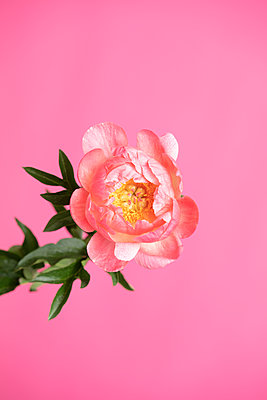 Peony flower in front of pink background - p919m2193288 by Beowulf Sheehan