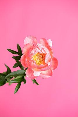 Pfingstrose vor rosa Hintergrund - p919m2193288 von Beowulf Sheehan