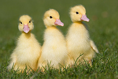 Three ducklings on grass - p9242283f by Image Source