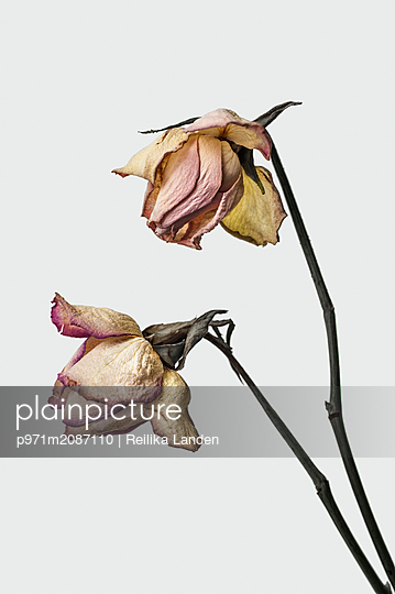 Two wilted roses - p971m2087110 by Reilika Landen