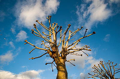 Two pollarded trees - p1047m1424392 by Sally Mundy