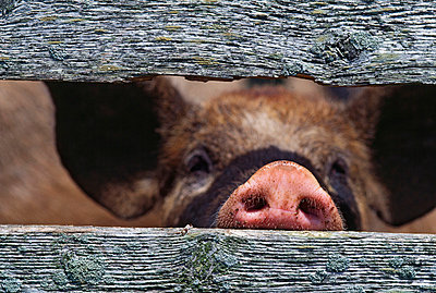 Pig's snout through weathered fence boards - p4422951f by Design Pics