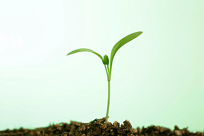Seedling, close up, green background - p5143270f by KOJI KITAGAWA