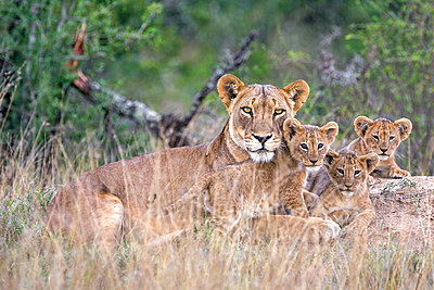Kenya, Laikipia.  A lioness with her three small cubs. - p652m1221488 by Nigel Pavitt