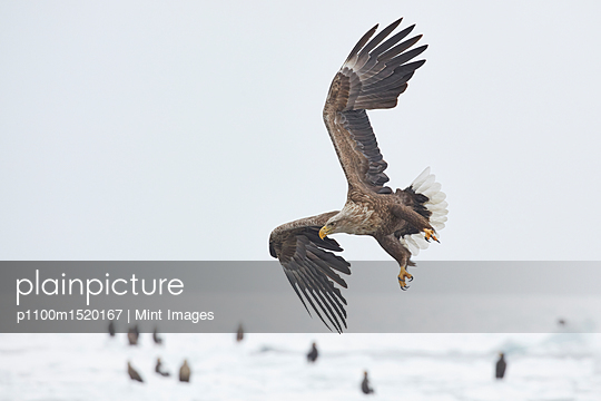 White-Tailed Eagle, Haliaeetus albicilla, hunting on frozen bay in winter. - p1100m1520167 by Mint Images
