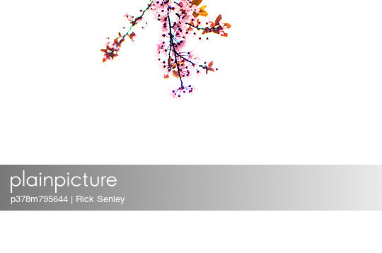 Blossom and white sky - p378m795644 by Rick Senley
