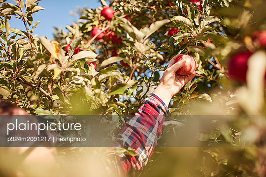 Woman picking apples from tree - p924m2091217 by heshphoto