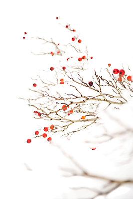 Crabapples in winter - p533m970799 by Böhm Monika