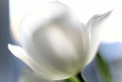 Blühende Tulpe in Weiß - p1258m1539752 von Peter Hamel