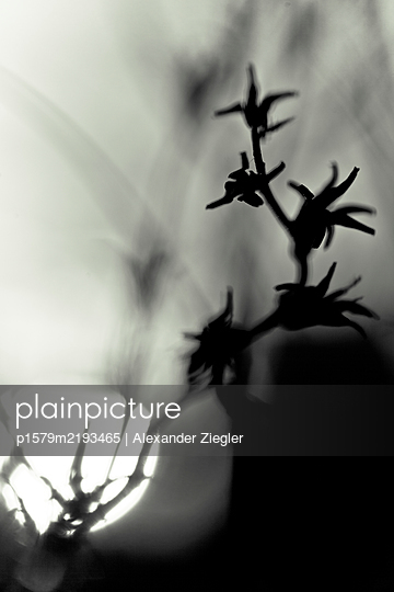 Details of a withered plant in the sunset - p1579m2193465 by Alexander Ziegler