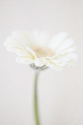 Study of a Gerbera flower - p1470m1539184 by julie davenport