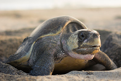 Olive Ridley Sea Turtle laying its eggs in Oaxaca, Mexico. - p343m1168115 by Andres Valencia