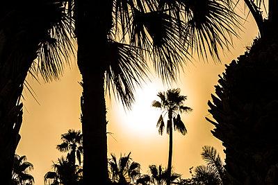 Palmensilhouette - p488m1444418 von Bias