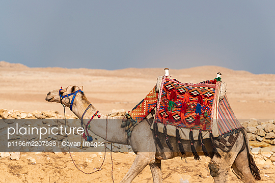 A camel walks through the desert in Giza - p1166m2207899 by Cavan Images