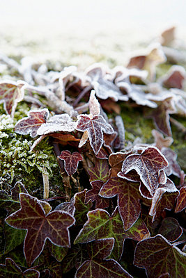 Morning frost on leaves in winter - p349m789709 by Brent Darby