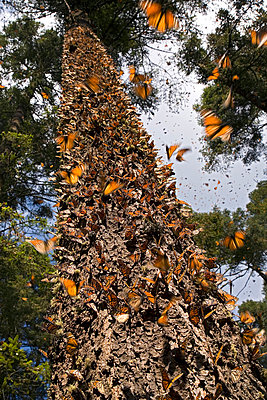 Monarch butterfly overwintering colony - p8845018 by Ingo Arndt
