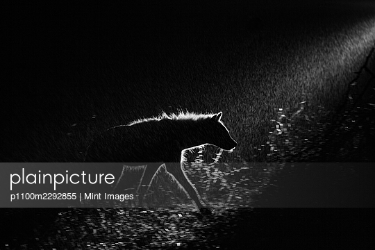 A spotted hyena, Crocuta crocuta, walks in the darkness, backlit by a spotlight - p1100m2292855 by Mint Images