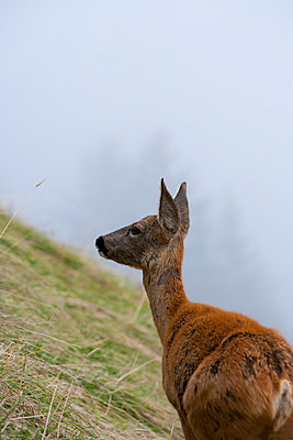 Young deer - p248m739467 by BY