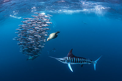 Striped marlin hunting mackerel and sardines, joined by sea lion - p429m2068935 by Rodrigo Friscione