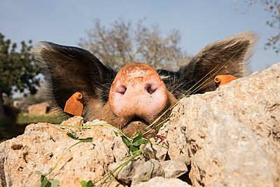 Happy pig - p1021m2248659 by John-Patrick Morarescu
