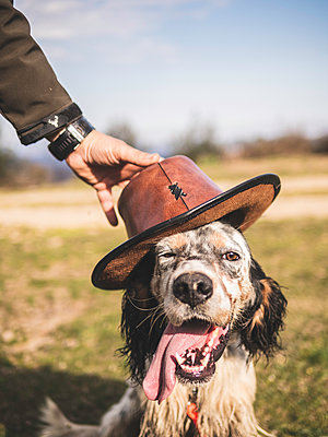 English setter looking at camera with a leather hat that his owner puts on him - p1522m2086569 by Almag