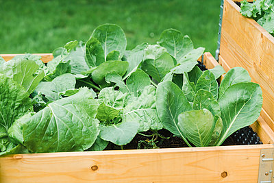 Cabbages planted in wooden crate at garden - p300m2274207 by Elisabeth Cölfen