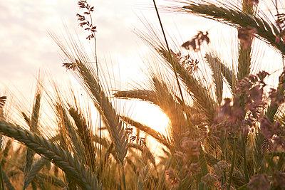 Roggen und Wildblumen im Sonnenlicht - p897m1083231 von MICK