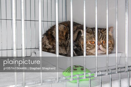 Katze im Käfig auf einer Katzenshow - p1057m1564466 von Stephen Shepherd
