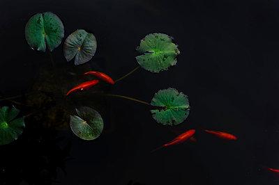 5 Goldfische - p1088m902193 von Martin Benner