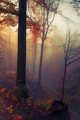 Germany, near Wuppertal, deciduous forest in autumn - p300m973460 by Dirk Wüstenhagen