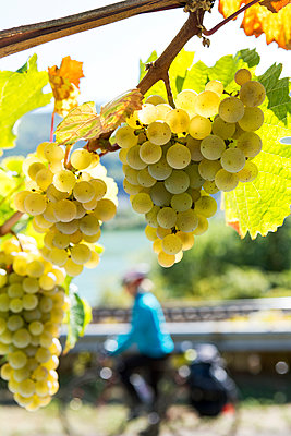Several clusters of white grapes hanging from a vine with female touring cyclist in the background; Muden, Germany - p442m2091778 by Michael Interisano