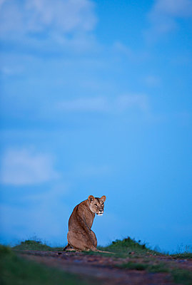 Attentive Lion - p533m1134193 by Böhm Monika