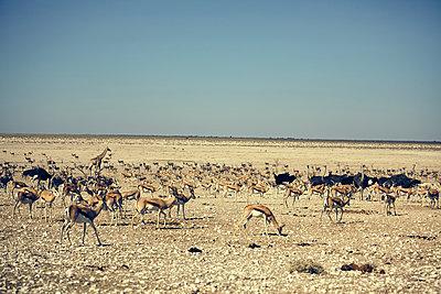 Springbok - p1305m1132828 by Hammerbacher