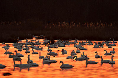 Tundra Swans backlight by the orange sunrise - p1480m2148196 by Brian W. Downs