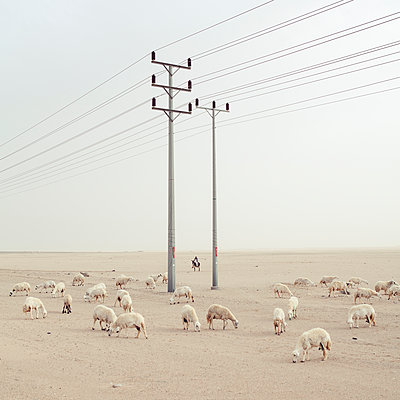 Flock of sheep and high-tension lines in the desert - p1542m2142375 by Roger Grasas