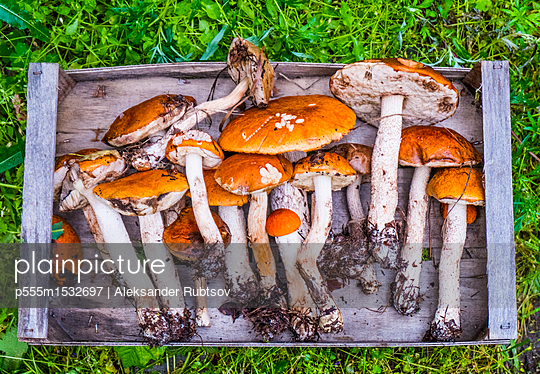 Fresh picked mushrooms on wooden tray - p555m1532697 by Aleksander Rubtsov
