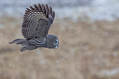 Side shot of a Great Grey Owl in flight against blurred background - p1025m789263f by Torbjörn Arvidson