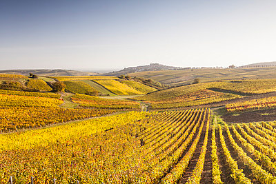 Autumn color in the vineyards of Sancerre, Cher, France, Europe - p871m992660 by Julian Elliott